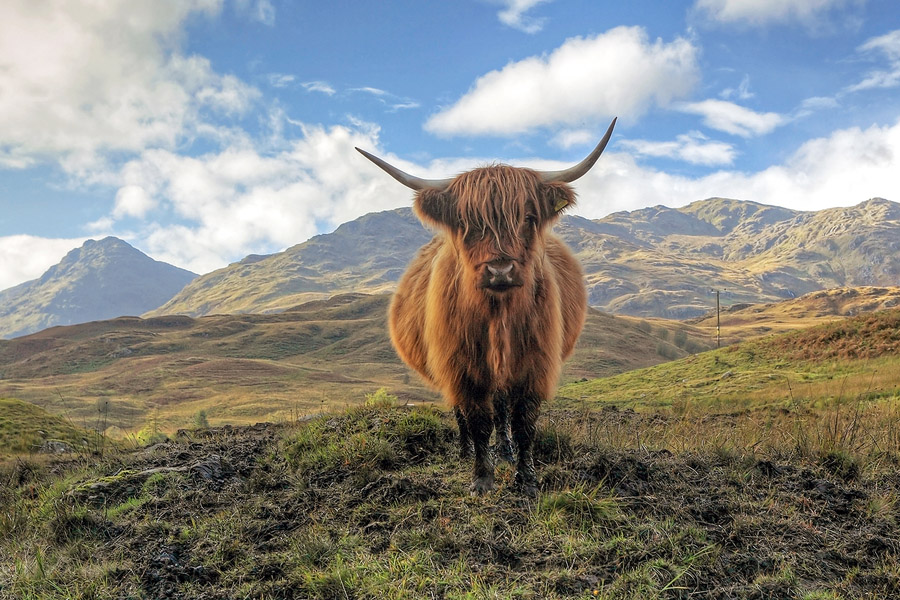 Quo10_HarryPotter_Highland Cow