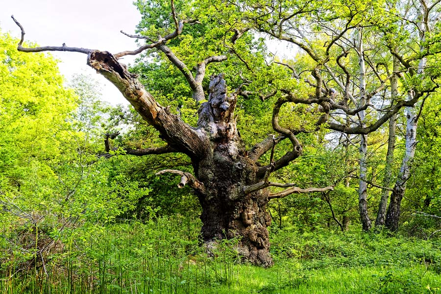 Quo5_HarryPotter_A bare, gnarled, old oak tree in Sherwood Forest looks like a mythical creature
