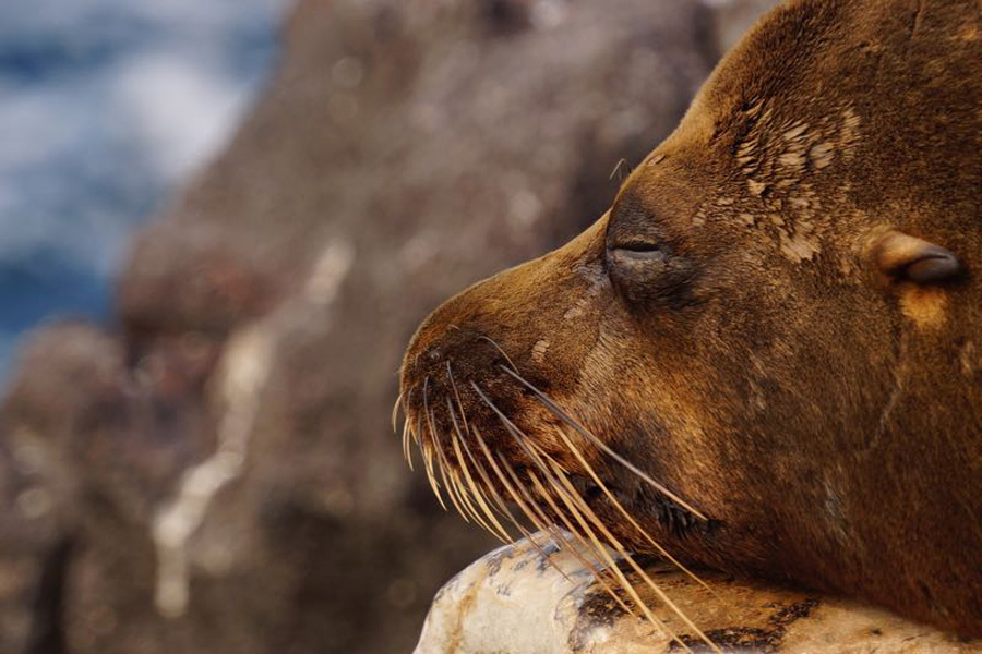 Quo_Galapagos_Sea_Lion_Face